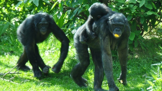 Bonobos may have actually domesticated themselves