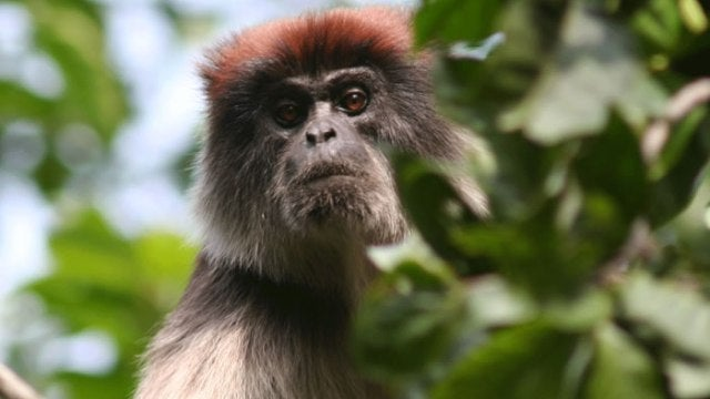 Why are chimps hunting red colubus monkeys to death?