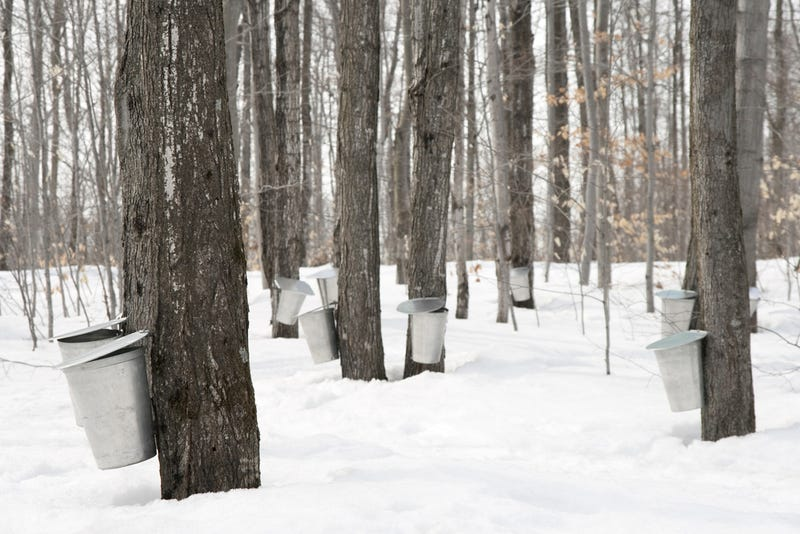A Discovery That Literally Turns the Maple Syrup Industry Upside Down