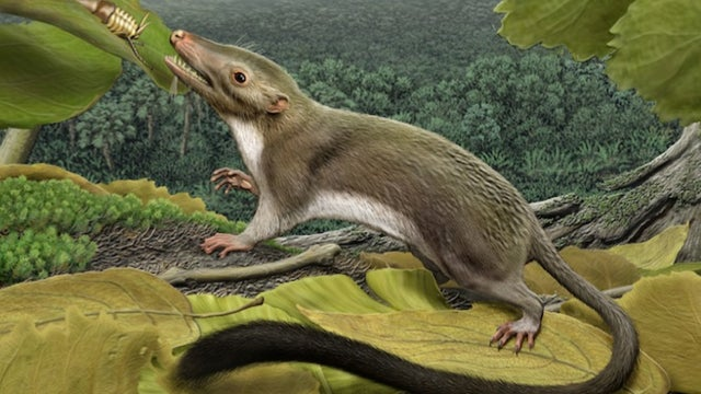 New study of mammalian evolution reveals one of our earliest ancestors