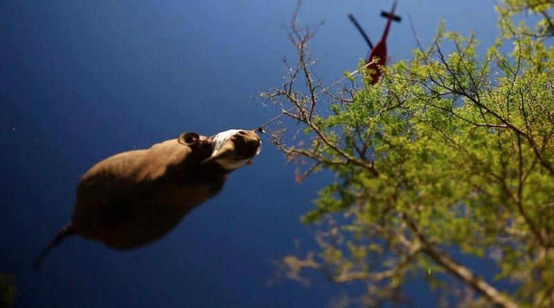 The Sad, Beautiful, Surreal Sight of an Endangered Rhino Being Airlifted to Safety
