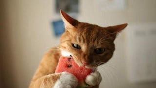Do cats love watermelon?