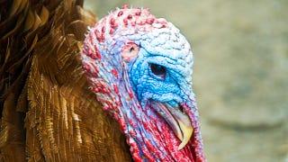 You Don't Know Turkey About Wild Turkeys
