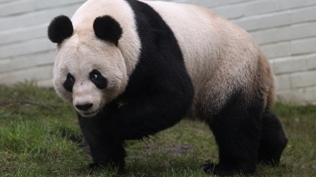Unable To Find 12 Women Of The Year, BBC Crowns Panda Instead
