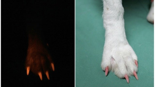Mad Scientists Have Created a Glow in the Dark Dog