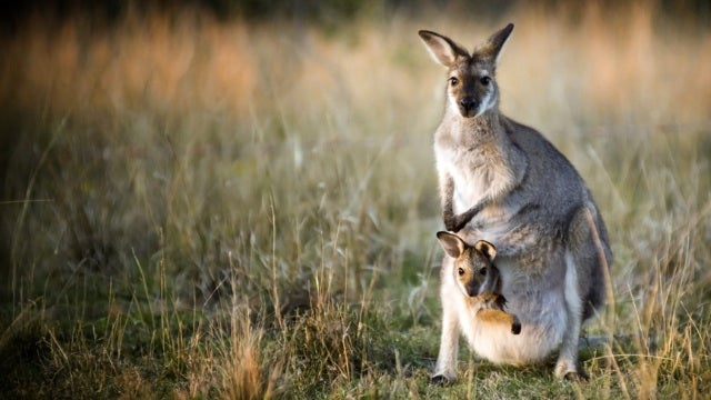 Kangaroos have three vaginas
