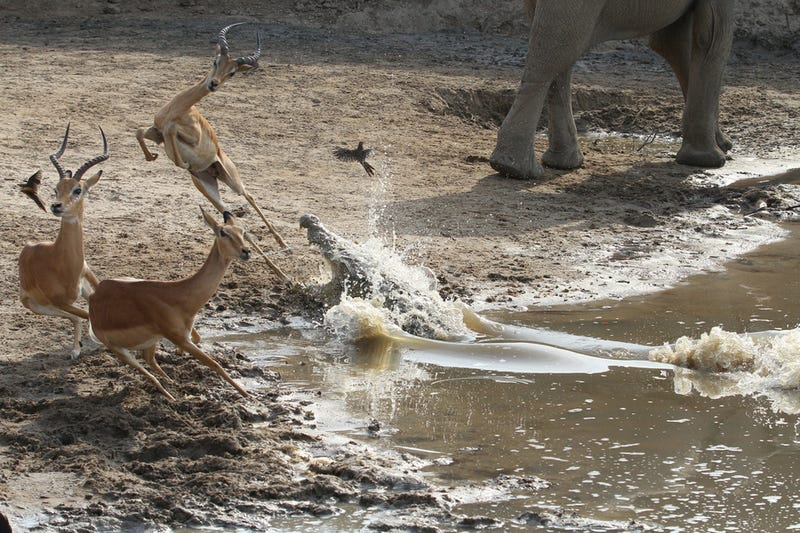 Incredibly tense images show impala escaping a crocodile attack