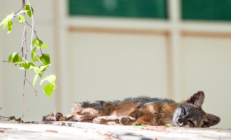 """Mark Zuckerberg """"Likes"""" Something That's Awesome: Baby Foxes"""