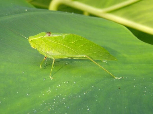 Just Saw This Pretty Green Insect I Guess It 39 S Called A Katydid