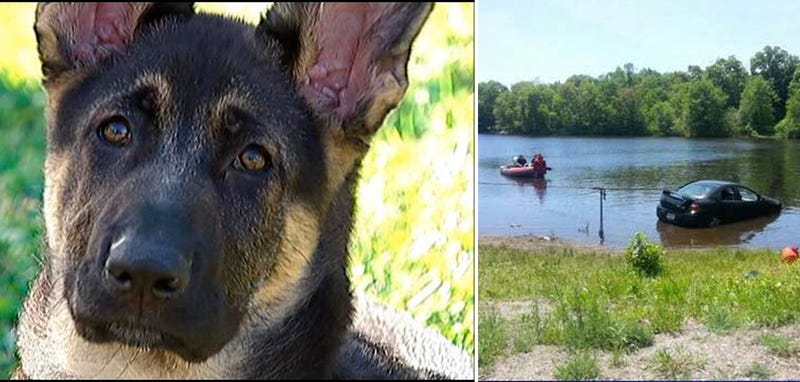 Adorable German Shepherd Puppy Adorably Drives Car Into Pond