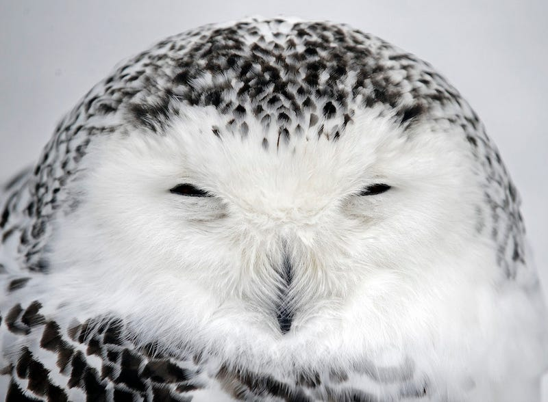 """Philly the Snowy Owl"" Dies, As a Snowy Owl Invasion Is Reconsidered"