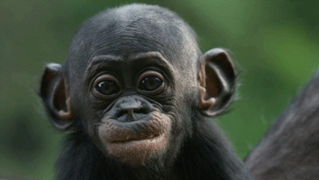 Are humans more like chimps or bonobos? The correct answer is changing.