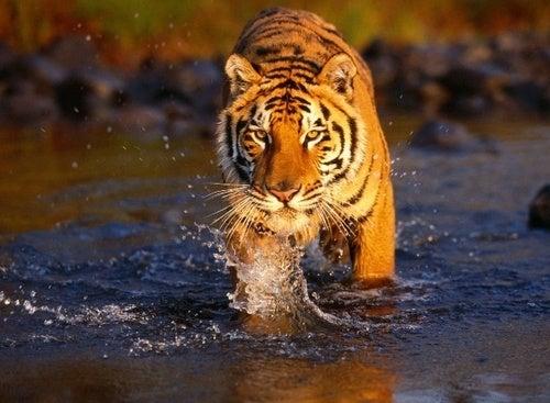 Tiger poop could help save endangered species