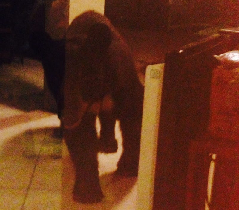 Boozy Bear Breaks Into Florida Porch in Search of Beer and Piña Colada