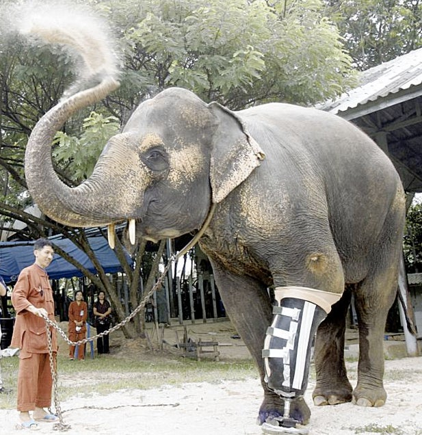 Amputee Elephant Walks Again Thanks to Incredibly Strong Artificial Limb