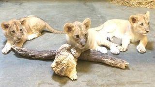 Lion Sisters Take Cincinnati by Storm!