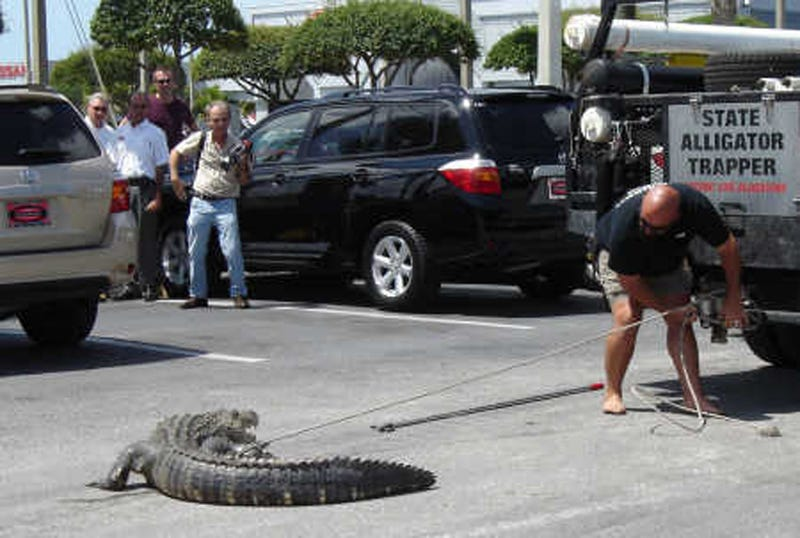 Alligator Fights Off Woman For First Chomp At Toyota Test Drive