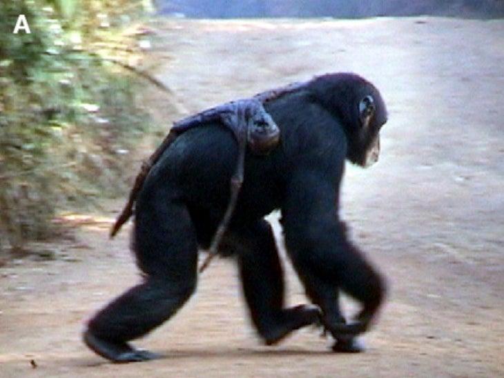 How Chimpanzees Mourn Their Dead