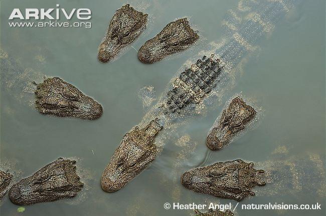 Sunday Crocodilian - Alligator sinensis Edition
