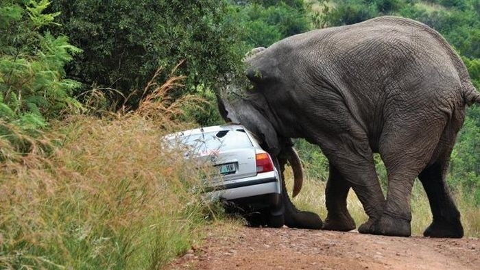 Why passing an elephant is dangerous to your health