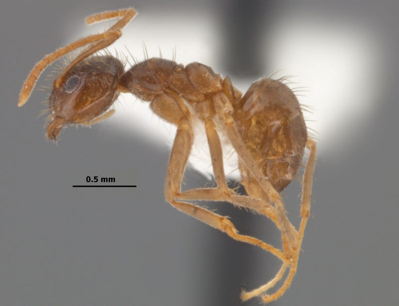 "Southern United States Invaded by ""Hairy, Crazy Ants"" that Attack Electrical Systems"