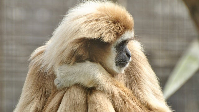 Gibbon has lived for fifty years just by staying super relaxed