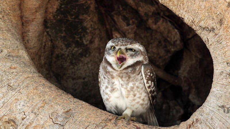 The Drastic Plan to Save the Spotted Owl By Massacring Other Owls and Trees