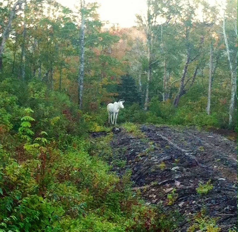 These moronic hunters actually shot and killed a rare albino moose
