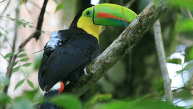 Aw, Someone Strapped Little GPS Backpacks Onto Toucans In the Name of Science