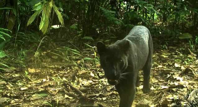 Científicos logran fotografiar las manchas en la piel del leopardo negro