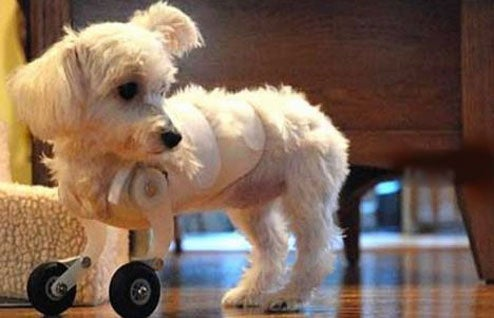 Dog Made Adorably Bionic With Model Airplane Wheels