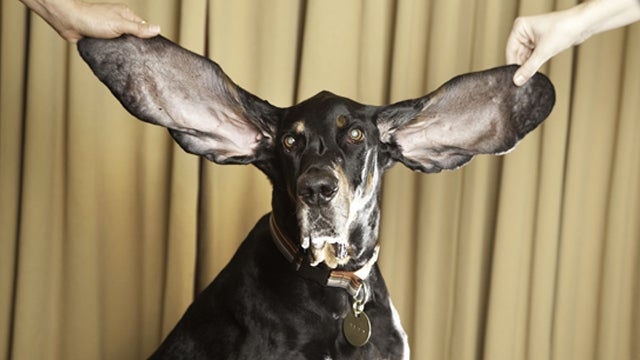Dog Awarded The Guinness World Record For The Longest Ears In The World