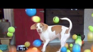 Dog Gets 100 Balls for His Birthday, Just About Loses His Shit