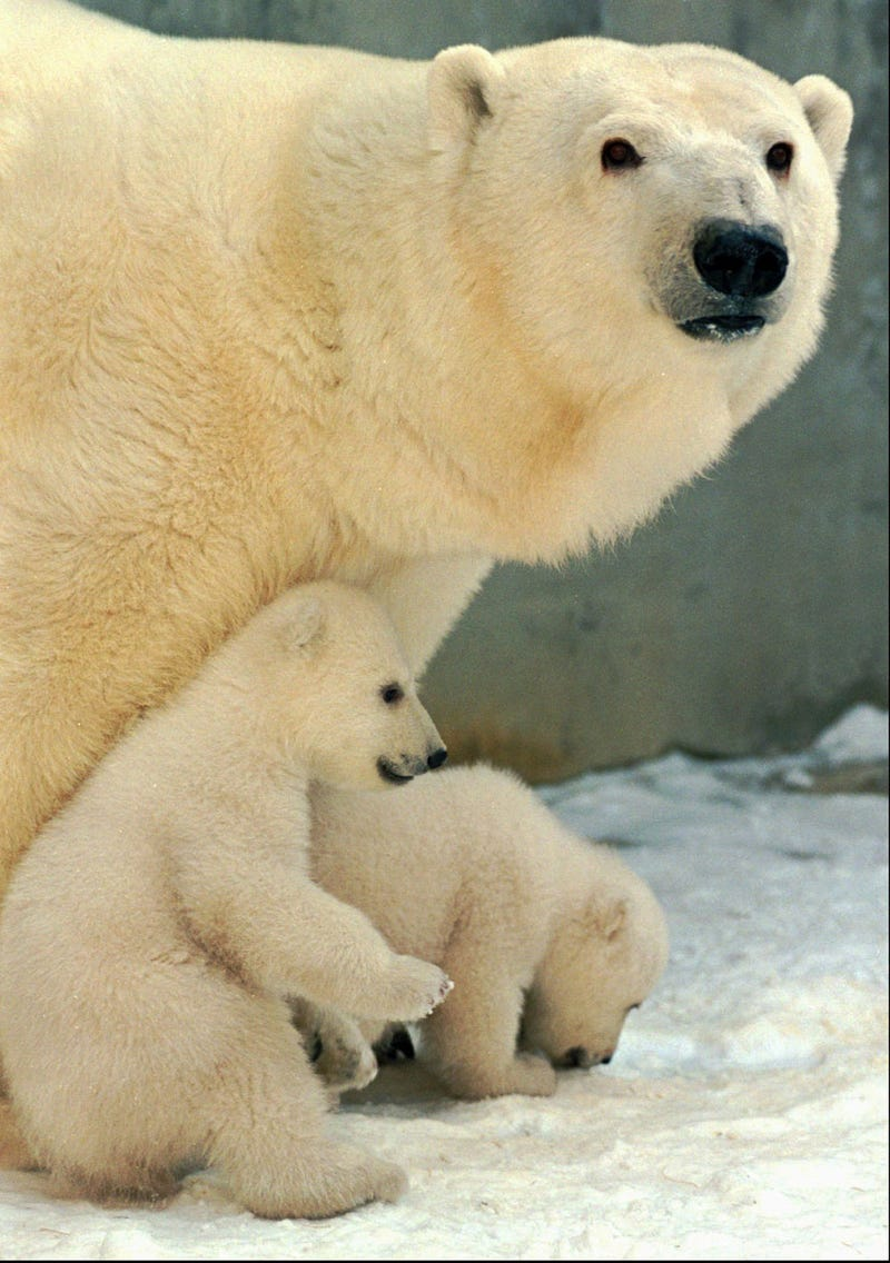 Polar bears may survive global warming after all