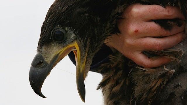 Will Eagles Start Eating Kids?