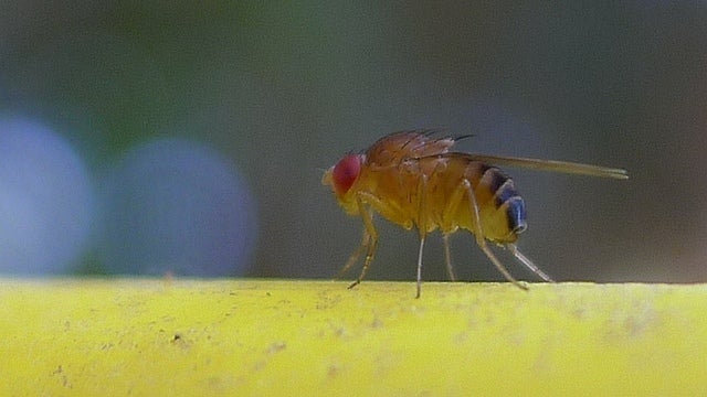 The same genes that cause cancer in humans paint spots on fruit fly butts
