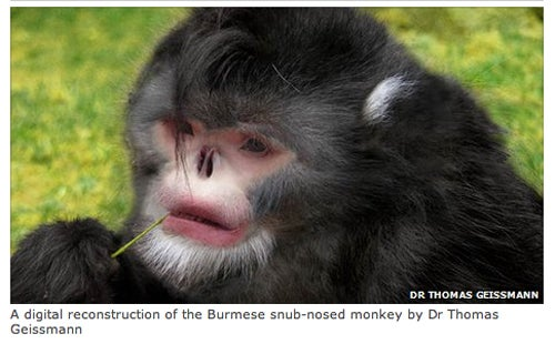 New Snub-Nosed Monkey Species Discovered In Burma
