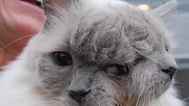 Cat with Two Faces Sets World Record