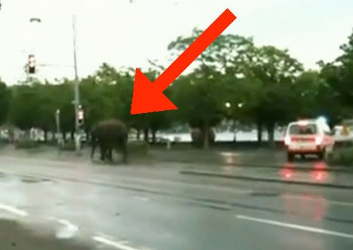 Runaway Elephant Goes on Gentle Rampage in Switzerland