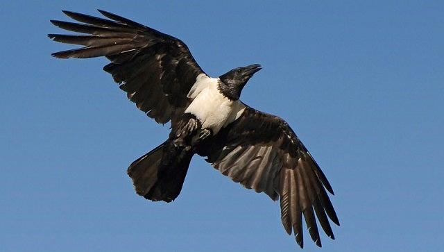Spy Ravens Once Roamed The Sky