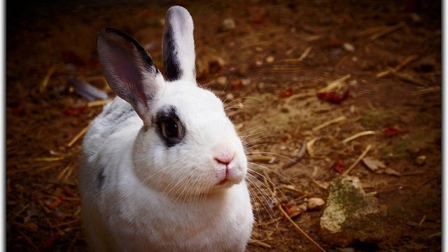 Did adorable little bunnies kill the Neanderthals?