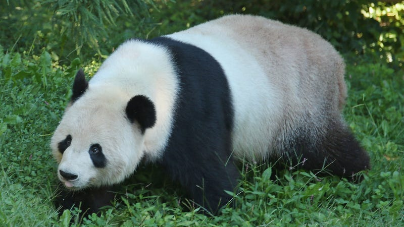 Panda Blood Might Be a Magical, Fuzzy Super-Medicine