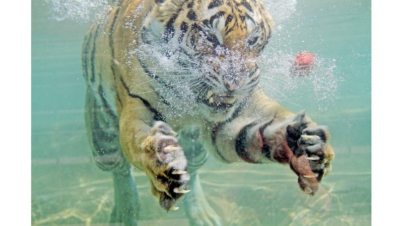 Underwater Tiger Is Terrifying, Beautiful