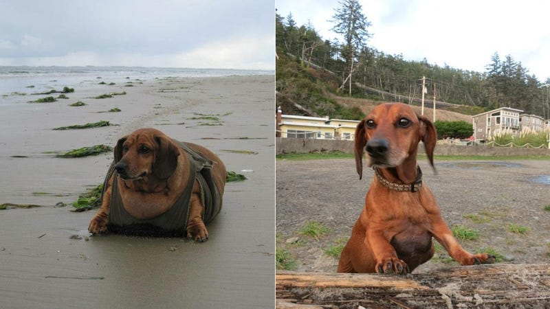 Obie the Doxie Loses Almost 50 Pounds, Gets New Leash on Life