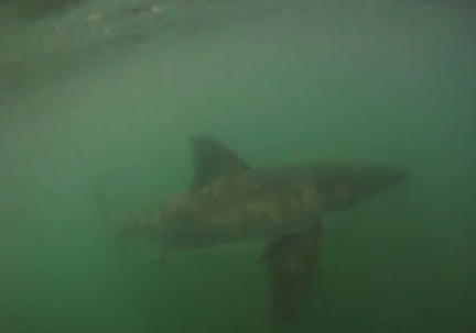 Surfer Uses Underwater Camera to Capture Two Great Whites Sizing Him Up
