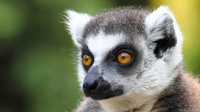 Psychic Lemurs Sensed Earthquake Before It Happened