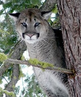 Forget Leopards, there are Cougars Prowling the Microsoft Campus