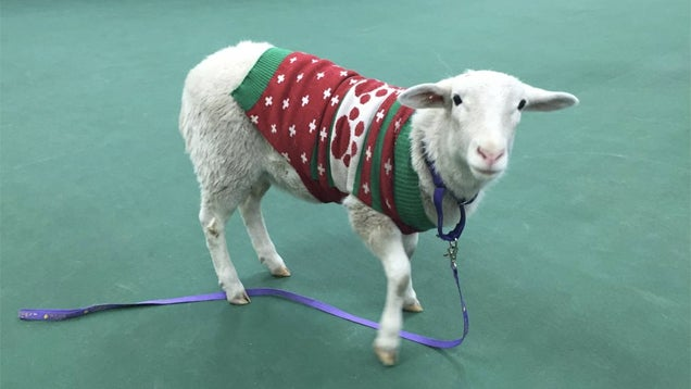 Did You Lose a Sheep in Christmas Sweater? Nebraska Has It