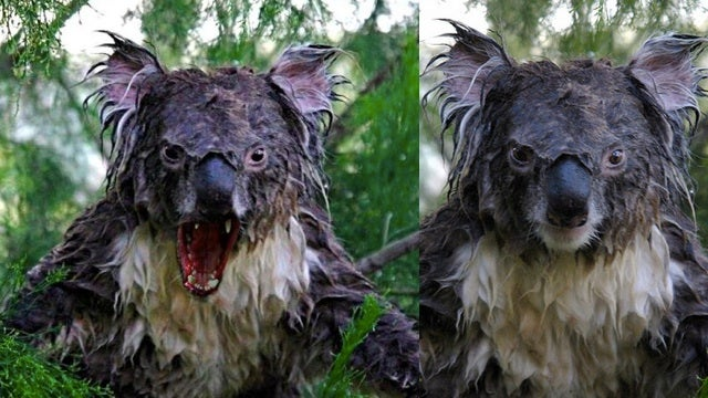 Koalas + Wolf Jaws = Pants-Soiling Terror