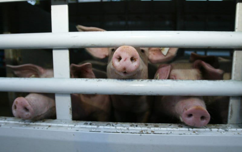 Truck Full of Pigs Overturns in Spain, Kills 2 Cyclists